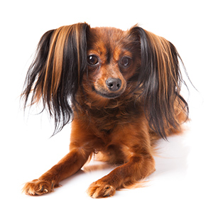 Russian Toy Terrier 5