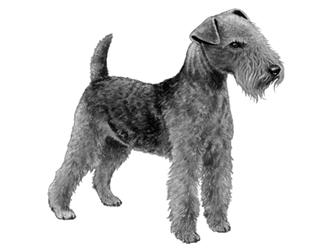 Lakeland Terrier - B&W