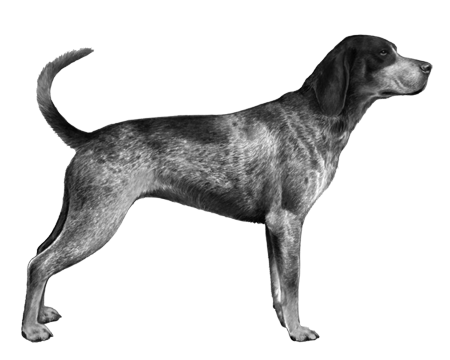 Bluetick Coonhound - B&W