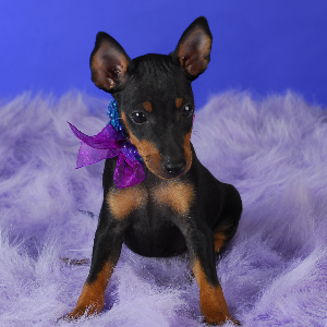 Manchester Terrier (Toy) - carousel