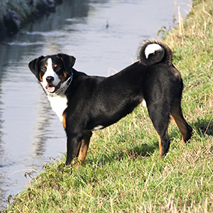 Appenzell Cattle Dog (4)
