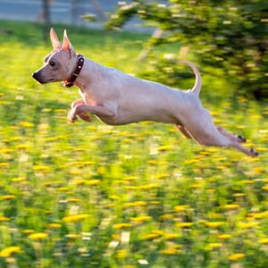American Hairless Rat Terrier 300x300-1