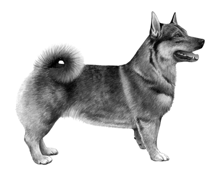 Swedish Vallhund - B&W