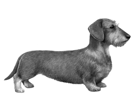 Wirehaired Dachshund - B&W