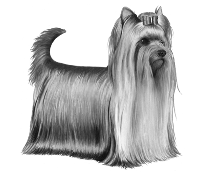 Yorkshire Terrier - B&W