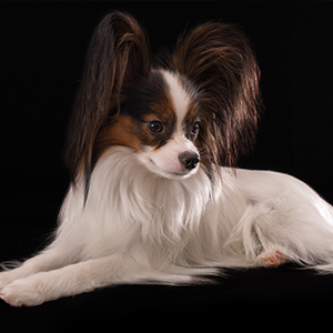 Continental Toy Spaniel 4
