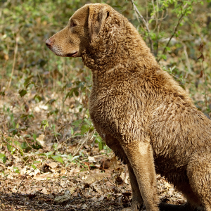 Chesapeake Bay Retriever - carousel