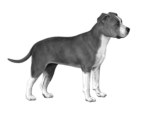 American Staffordshire Terrier B&W Small File
