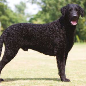 Curly Coated Retriever - carousel