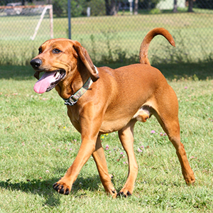 American English Coonhound 300x300-1