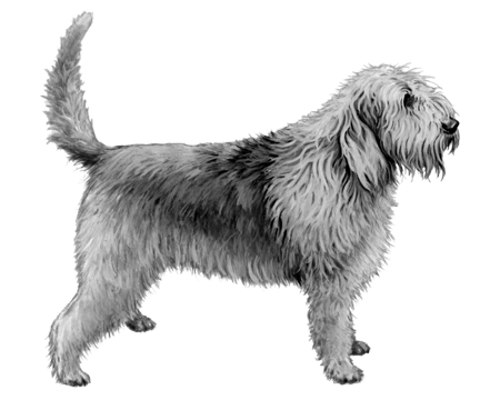 Otterhound - B&W