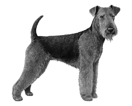 Airedale Terrier - B&W