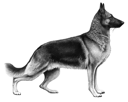 German Shepherd Dog - B&W