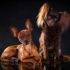 Russian Toy Terrier 3