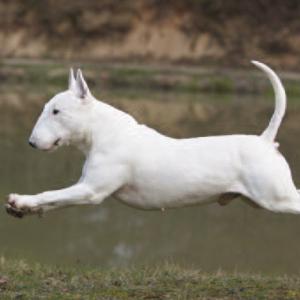 Miniature Bull Terrier   Wisdom Panel