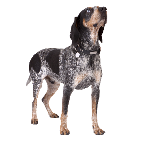 Blue Tick Coonhound - carousel
