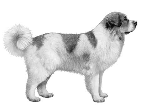 Pyrenean Mastiff B&W Small File