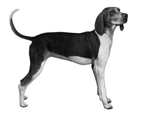 Treeing Walker Coonhound - B&W