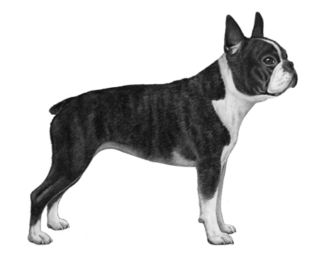 Boston Terrier - B&W