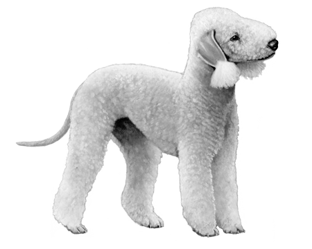 Bedlington Terrier - B&W