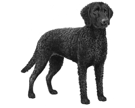 Curly Coated Retriever - B&W