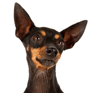 English Toy Terrier (Black and Tan) - carousel