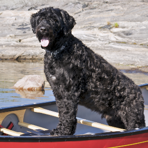 Portuguese Water Dog Wisdom Panel