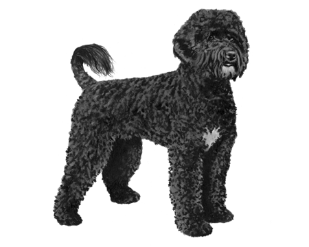 Portuguese Water Dog - B&W