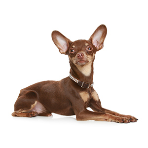 Russian Toy Terrier 4