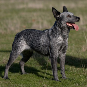 Australian Stumpy Tail Cattle Dog1