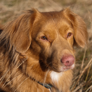 Nova Scotia Duck Tolling Retriever - carousel