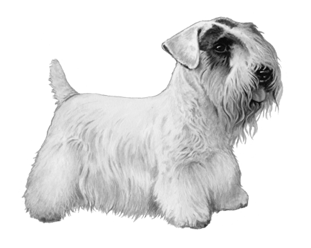 Sealyham Terrier - B&W