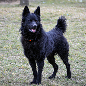 Croatian Shepherd Dog 1