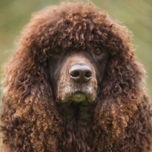 Irish Water Spaniel - carousel
