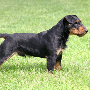 German Hunting Terrier 4