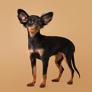 Russian Toy Terrier 1