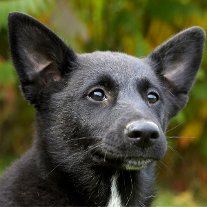 Where To Buy A Canaan Dog Uk