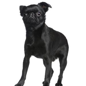 Brussels Griffon Facts Wisdom Panel Dog Breeds