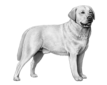 Labrador Retriever - B&W