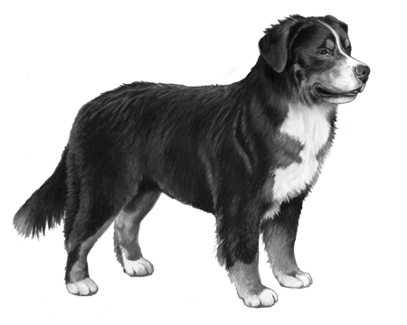 Bernese Mountain Dog - B&W
