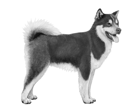 Canadian Eskimo Dog - B&W