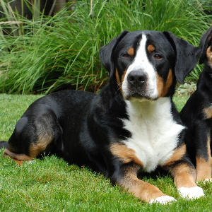 Greater Swiss Mountain Dog - carousel