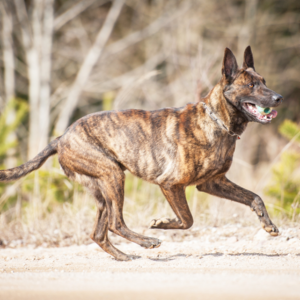 Dutch Shepherd Dog - carousel