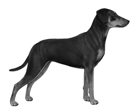 German Pinscher - B&W