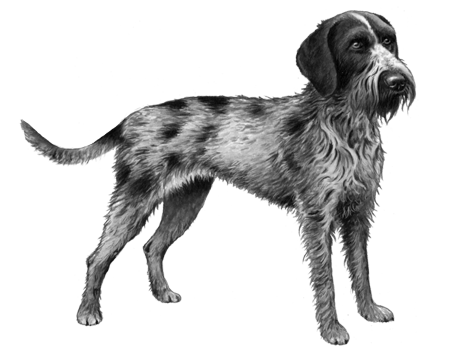 German Wirehaired Pointer - B&W