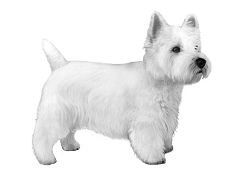 West Highland Terrier - B&W