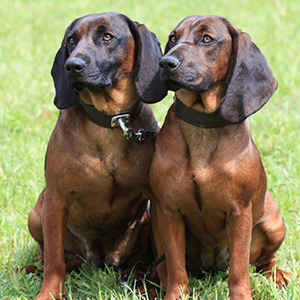 Bavarian Mountain Hound (3)