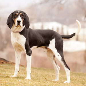 Treeing Walker Coonhound - carousel