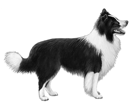 Border Collie - B&W