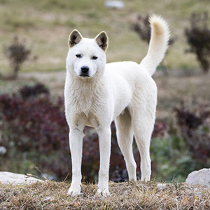 Korean Jindo 300x300-1